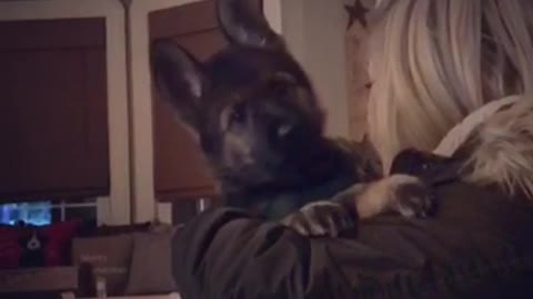 German shepherd puppy with the cutest headtilts