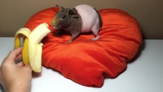 Hairless guinea pig snacks on banana