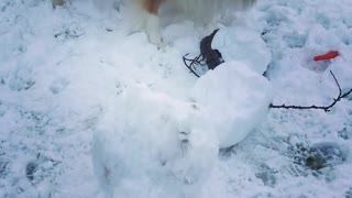 Collie dog digs at a snow man