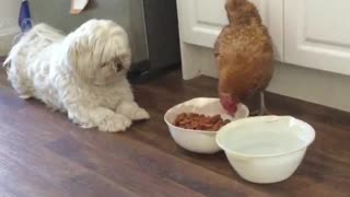 Dog Miffed at Chicken Eating His Dinner