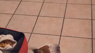 Bulldog sings to song