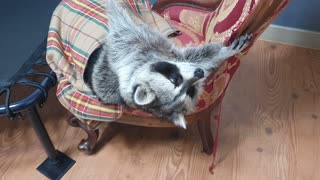 Raccoon is lying comfortably in a chair.