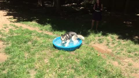 Husky goes crazy in baby pool