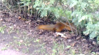 squirrel in the park  - Video