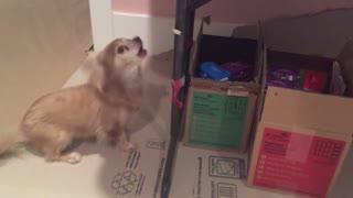 Chihuahua exhibits sheer determination for cookie time - Video