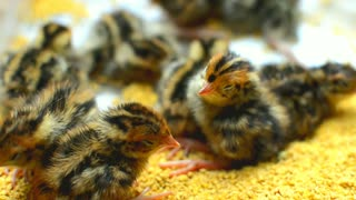 Little African Chicks With Mother