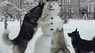 Husky Steals Snowman's Carrot