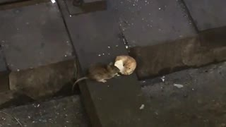 Rat eating bagel subway rail tracks