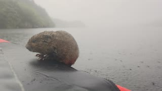 Rare Water Vole Jumps into Kayak for a Rest