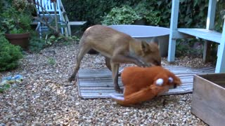 Fox Cub Plays with King Louis - Video