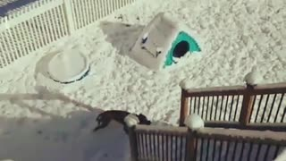 Brown dog running around in snow and climbing stairs