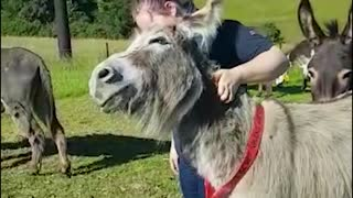 Sweet and friendly donkey can't get enough scratches