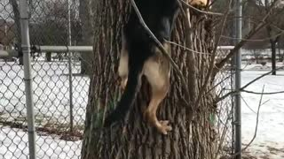 German shepherd climbs tree to chase squirrel in snow