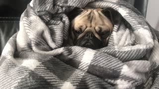 Pug Snuggled in a Blanket