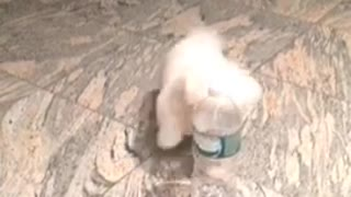 Small white puppy dog knocks over water bottle then attacks it
