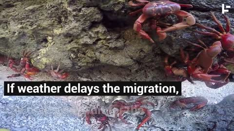 Christmas Island is almost drowning in crabs