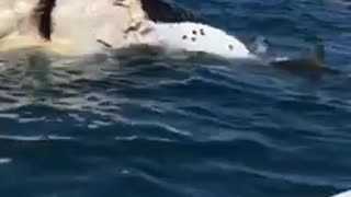 Sharks eating whale