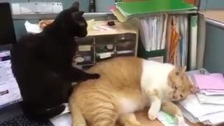 A cat always asking for the better massage  - Video