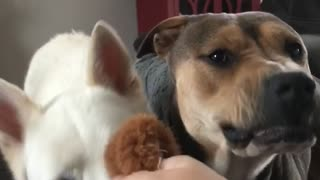 Grumpy Dog Irritated By Tug-Of-War Game