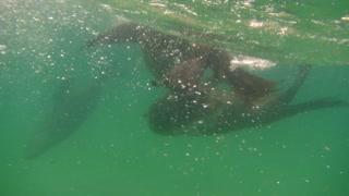 Swimming with wild seals in South Africa - Video