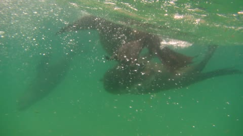Swimming With Energetic Wild Seals In Jeffreys Bay, South Africa