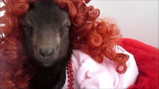 Adorable dwarf goat models various hairstyles - Video