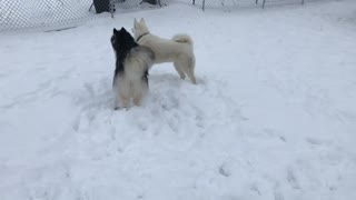 Huskies playing in the snow  - Video