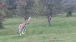 Giraffes running free in UK - Video
