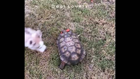 Dog Trying To kidnap Carrot From Turtle