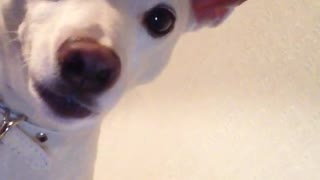 White dog staring directly into phone whimpering  - Video