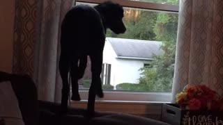 Black dog trying to catch fly from window