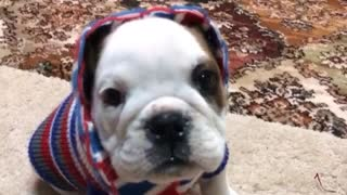 bulldog puppy journey in life - Video