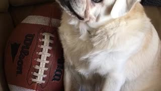 Football pug cocks head back and forth - Video