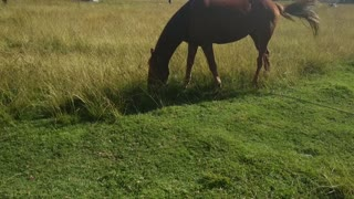 Adorable Brown Horse Eating Grass While Tails Moving
