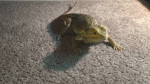Bearded Dragon chases laser pointer like a cat