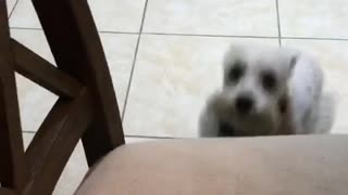 Small fluffy dog falls off chair  - Video