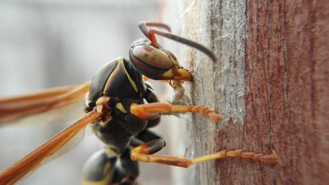 Paper Nest Wasp Gathers Supplies For Nest