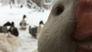 Silly Goose Bites Camera  - Video