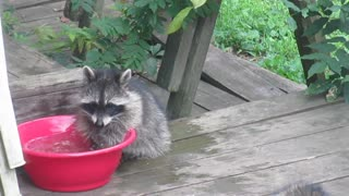 Baby raccoon cools down using backyard water bowl - Video