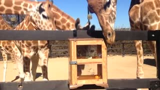 Giraffes attempt to reach hidden treats at Sydney zoo - Video