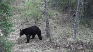 Curious Black Bear - Video