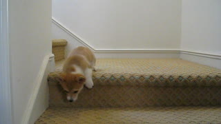 Corgi puppy conquers stairs for first time - Video