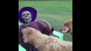 Halloween Decoration Won't Play Fetch With Golden Retriever - Video