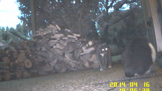 Neighbor Cat Comes To Visit - Video