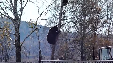 Wild Bear Chases A Man All The Way To The Top Of The Tree