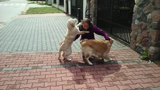 Golden Retrievers deliver heartwarming welcome upon owner's return - Video