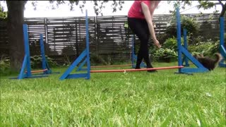 Little Chihuahua agility training - Video