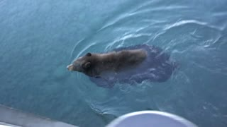 Bear swimming along pier in Lake Tahoe - Video