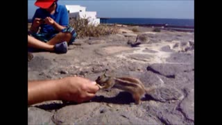 Cute and funny squirrels eat food from our hand - Video