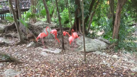 Look at this bright colour American flamingo socializing with each other - Part 2